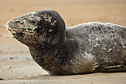 Leopard Seal, New Zealand