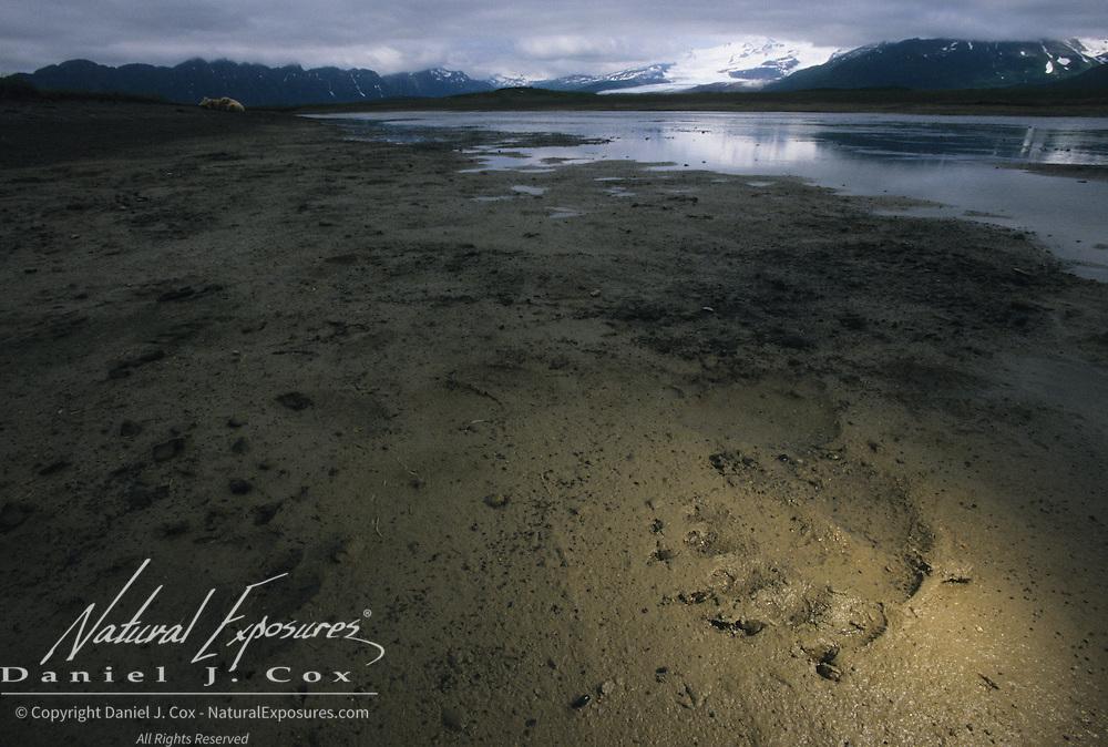 Alaskan Brown Bear (Ursus middendorffi) tracks in the tidal flats. Alaskan Peninsula