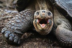 Galapagos giant tortoise (Geochelone vandenburg), Isabela Island, Galapagos Islands, Ecuador
