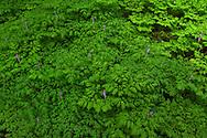Corydalis Sea - Salmon River Valley