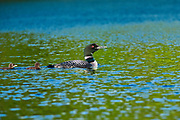 Common loon (Gavia immer) with chick on Cassels Lake<br />Temagami<br />Ontarui<br />Canada