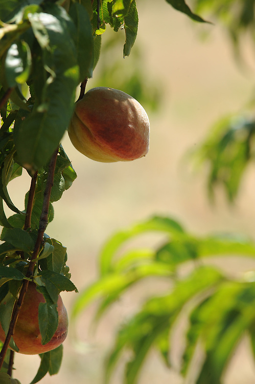 PeachCrest Farm near Stratford Oklahoma.  A Farm To School producer.  Growing organic onions, peaches, melons, tomatoes, squash, lettuce, and other fresh crops seasonly.