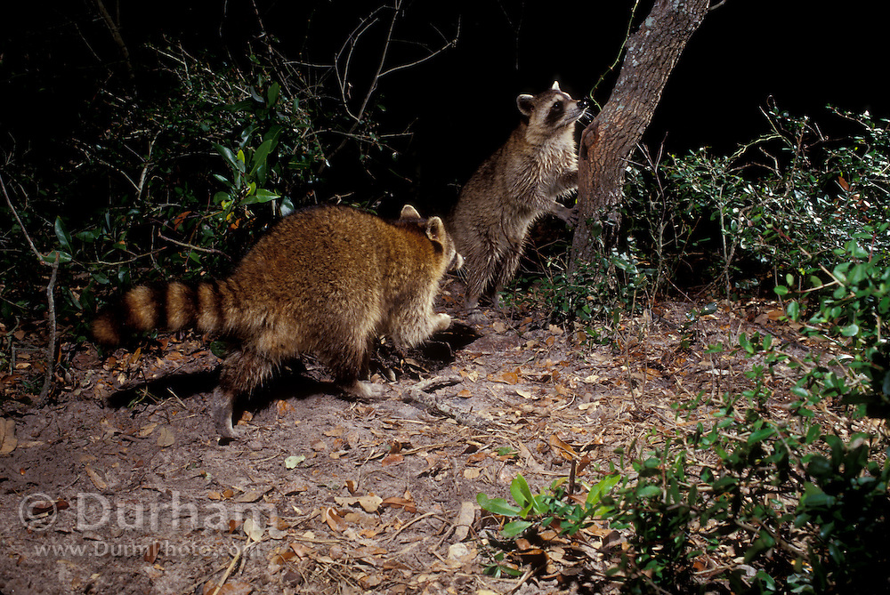 Raccoon (Procyon lotor) at night in the Aransas national Wildlife Refuge, Texas.