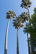 mature Washingtonia filifera aka California fan palms