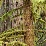 The old-growth forest along the trail to Marymere Falls.