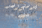 On the cold morning, as the Sandhill Cranes moved to the fields to forage, they were unsuccessful taking off from the ice so started walking over the ice to the fields instead.  Bosque del Apache, New Mexico