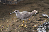 Wandering Tattler photos