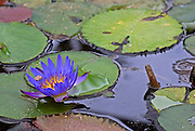 Blue lilly in a water pond