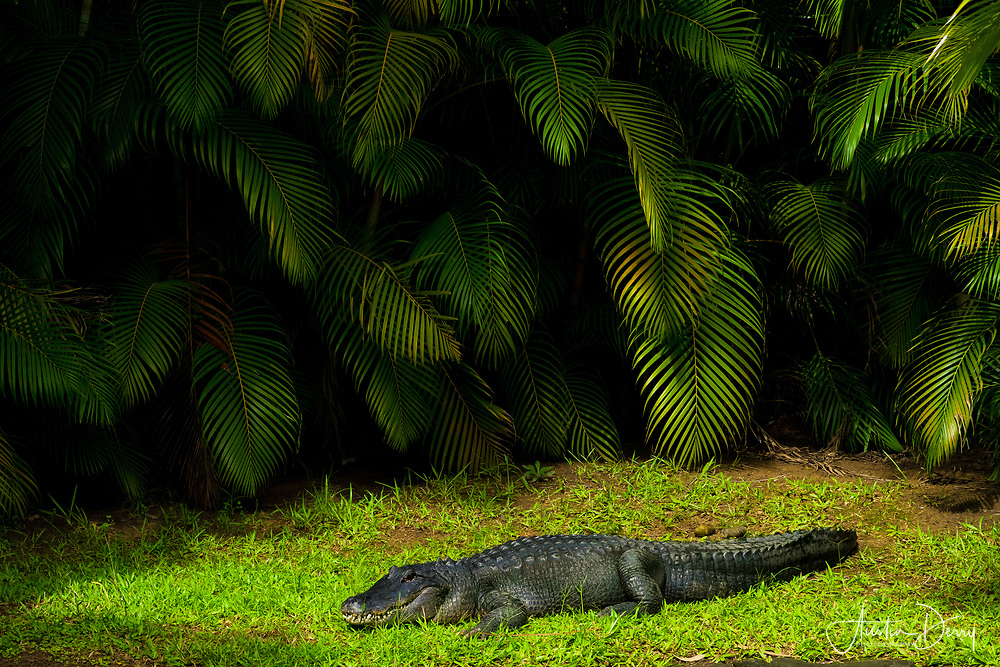 American Alligator Soaks up Sunshine