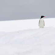 A Gentoo penguin stands erect on the snow at Hydrurga Rocks at Two Hummock Island on the western side of the Antarctic Peninsula.