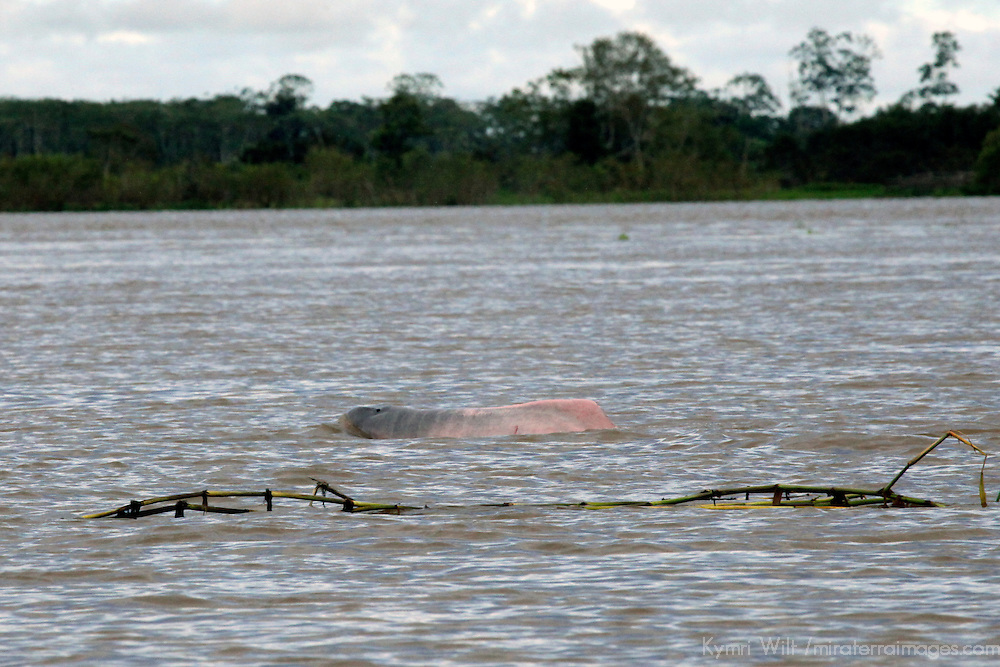 South America, Brazil, Amazon River. PInk Dolphin, also known as the Amazon River Dolphin.
