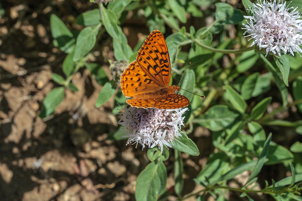 Speyeria e. egleis (Great Basin Fritillary) at Sherman Pass, Tulare Co, CA, USA, on Mountain pennyroyal 03-Jul-08