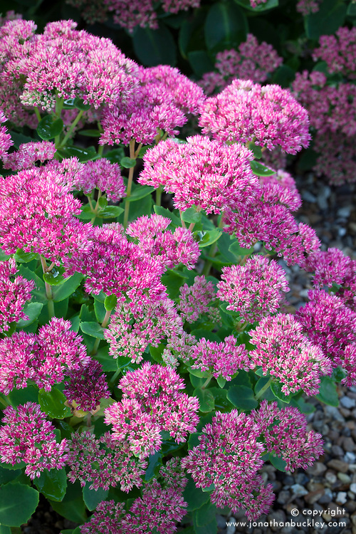 Sedum (Herbstfreude Group) 'Herbstfreude' syn. Sedum spectabile 'Autumn Joy', Sedum 'Indian Chief'.  Stonecrop