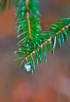 Lovely, surreal, macro shot of a green conifer twig with a sparkling water droplet on the tip.