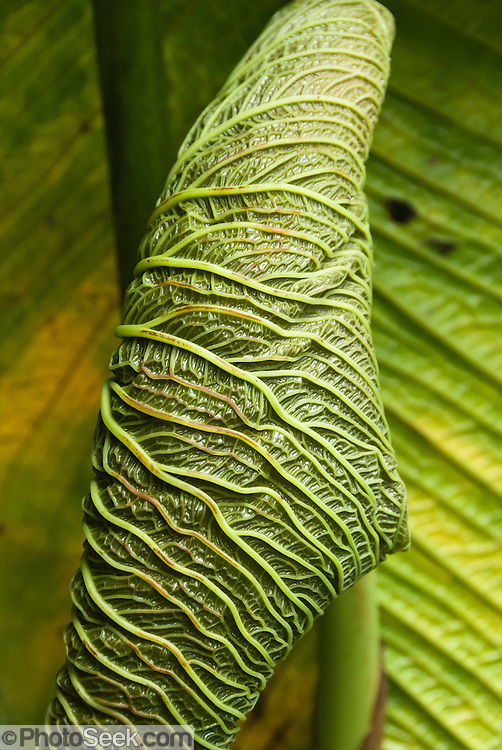 A giant leaf unfurls in Bellavista Cloud Forest Reserve, near Quito, Ecuador, South America.