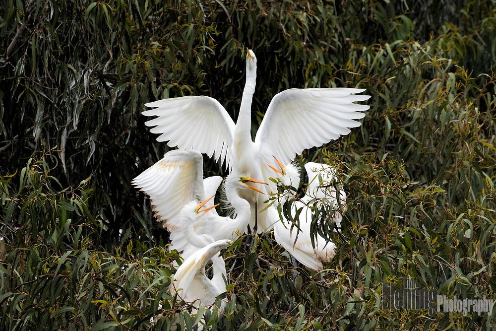 Great egrets competing for food in the Laguna de Santa Rosa, California