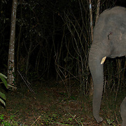 Asian Elephant, wild young male, at Thap Lan National Park. Picture is taken remotely with a cameratrap