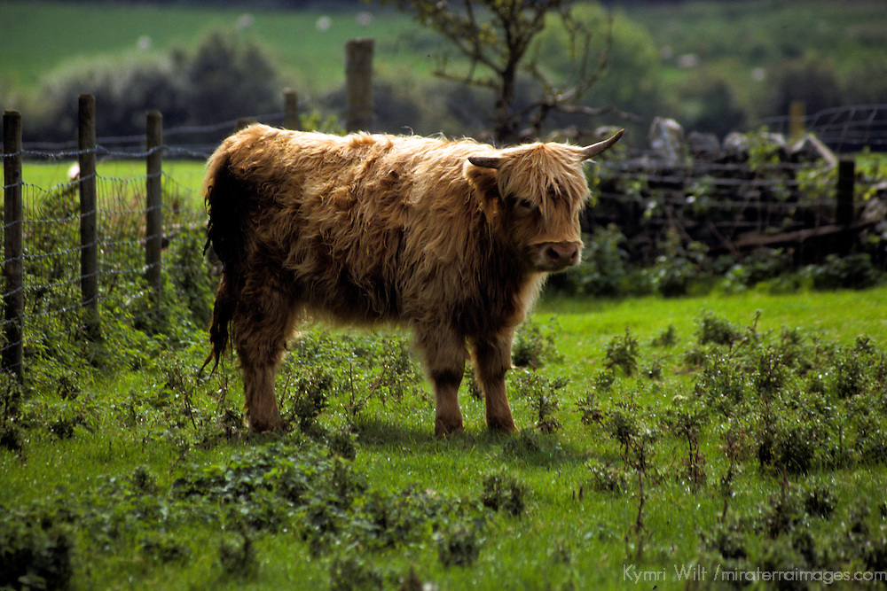 Europe, United Kingdom, Wales; A Highland Cow at home in the Welsh countryside of Snowdonia.