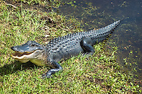 Young alligator warming up in the fall sun by a pond in Jefferson County. This one was about four feet in length.