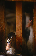 A detail of ducks awaiting their fate on a farm specialising in the production of Foie Gras, on 15th October 1997, in Boofzheim, Alsace, France.