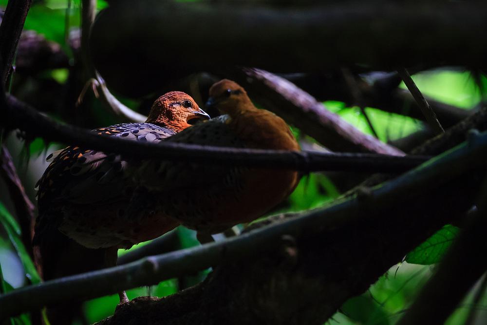 Ferruginous Partridge (Caloperdix oculeus) in habitat. Kaeng Krachan National Park. Thailand.