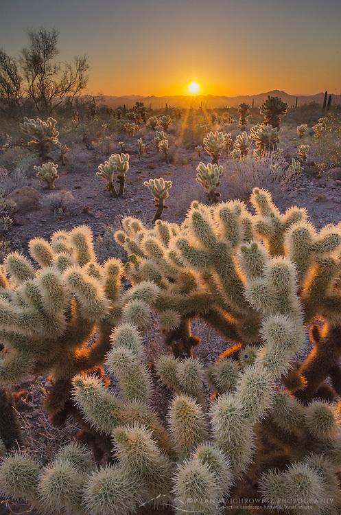 Sunset over the Sonoran Desert of Kofa National Wildlife Refuge Arizona, Teddy Bear Cholla (Opuntia bigelovii)  in the foreground