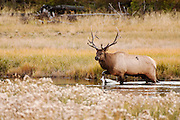 USA, Yellowstone National Park (WY).Elk (Cervus elaphus) in Hayden Valley