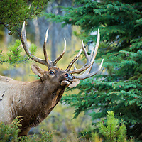 colorful trees bull elk
