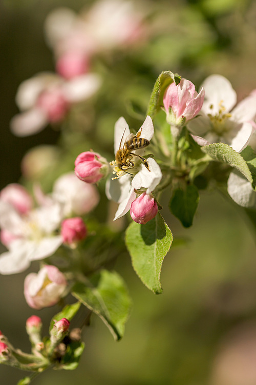 Honey Bee on wild Apple flowers