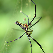 Much smaller male Giant Orb Weaver (Nephila Pilipes) risking life as he attempts to mate with a much larger female of the species in the forest of Kaeng Krachan National Park.