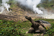 Galapagos Giant Tortoise (Geochelone elephantophus vandenburghi) and Steam Vent.<br /> Alcedo Volcano crater floor, Isabela Island<br /> GALAPAGOS ISLANDS<br /> ECUADOR.  South America<br /> One of 11 sub-species survising in the islands. This is an example of the dome-shaped sub-species. Alcedo hosts over half the 15,000 tortoises left in Galapagos. All tortoises were heavy hunted for food in the past. Dome-shaped males are double the size of the females. Males stay mainly in the highlands while females migrate towards the coast when they need to lay eggs.