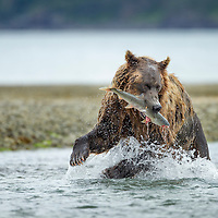 USA, Alaska, Katmai National Park, Coastal Brown Bear (Ursus arctos) bites into spawning pink salmon in stream along Kukak Bay