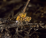 Yellow Dung Fly - Scatophaga stercoraria