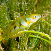 Blackear Wrasse inhabit sea grass beds and shallow reefs in Tropical West Atlantic; picture taken St. Vincent.