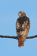 Red-tailed hawk image captured in Colorado.