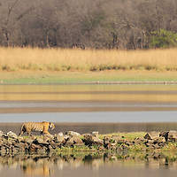 Tigress (Panthera tigris) crossing land bridge, Ranthambhore, India