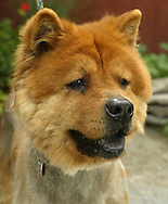 Goldie, a 10-year-old Chow Chow, is one of the dogs at Pets Alive sanctuary in the Town of Wallkill. July 2, 2007.