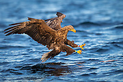 White-tailed eagle diving for a fish. Look at the concentrated eyes. Taken in early morning light | Havørn stuper etter en fisk. Se på de konsentrerte øynene. Tatt i mykt morgenlys.