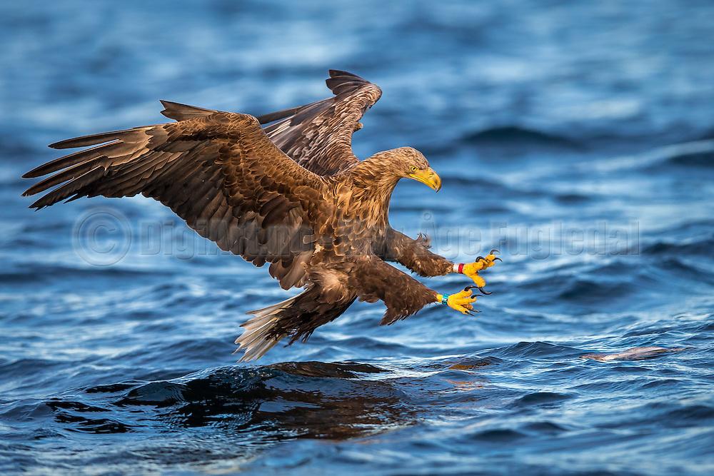 White-tailed eagle diving for a fish. Look at the concentrated eyes. Taken in early morning light   Havørn stuper etter en fisk. Se på de konsentrerte øynene. Tatt i mykt morgenlys.