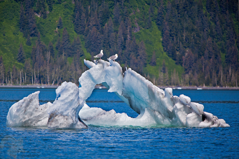 A pair of seagulls sit on an interestingly shaped, triangular iceberg in College Fiord, in Prince William Sound, Alaska. The Fiord is home to over 20 glaciers and is popular with tourism.