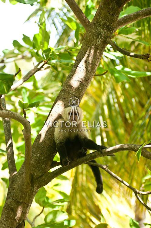 Capuchin Monkey on tree. Roatan, Honduras.