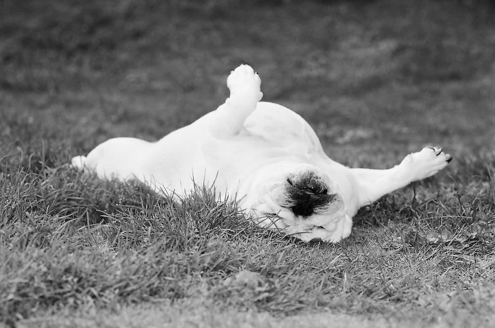The Guru of Relaxation, my Bulldog Gilay enjoying one of life's simple pleasures.