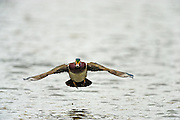 Drake wood duck flying