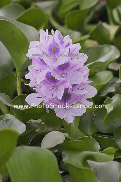 Kenya, lake naivasha, Kenya, Eichhornia crassipes water hyacinth
