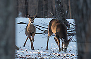 Two white-tailed deer forage forage for food underneath a fresh snowfall.