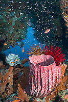 Barrel Sponge and Colorful Feather Stars<br /> <br /> Shot in Indonesia