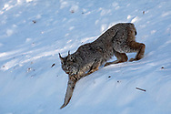 Canada Lynx in winter habitat