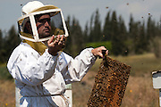 Beekeeper checking the frames in one of his hives. Photographed in Kibbutz Yad Mordechai, Israel