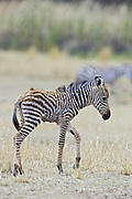 Plains Zebra<br /> Equus burchelli<br /> Newborn foal (less than 3 days old)<br /> Masai Mara Triangle, Kenya