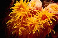 Oange Cup Corals, Tubastraea coccinea